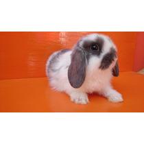 Hermosos Conejos Belier Mini Lop 100% Raza Pura