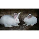Conejos Nueva Zelanda Puros