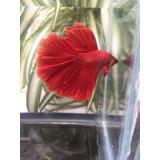 Betta Show Full Red Importado Hm
