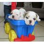 Hermosos Bulldog Ingles Color Blanco