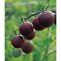 20 Semillas Tomate Jitomate Cherry Negro Lycopersicon Huerta