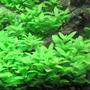 Stauogyne Repens 3 Tallos Plantas Acuario