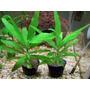 Plantas Acuáticas Hygrophila Corymbosa En Macetas.