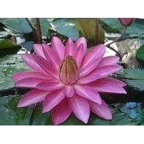 Planta Acuáticas Nenúfares Rosa