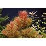 Limnophila Aromatica 2 Tallos Plantas Acuario