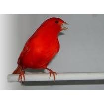 Pigmento Para Canarios Y Otras Aves