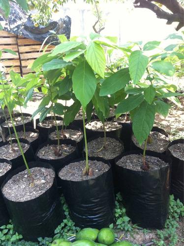 arbol de aguacate 3 a os de huerto casero organico 100