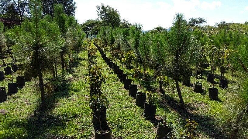 Arboles plantas vivero encinos robles pinos acacias for Plantas precios viveros