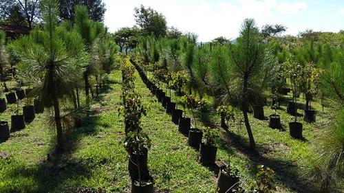 Arboles plantas vivero encinos robles pinos acacias for Viveros de arboles de sombra