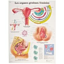 Tabla 3b Scientific Papel Satinado El Genital Femenina Órgan