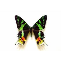 Mariposas Urania De Madagascar 10 Piezas