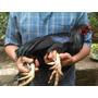 Gallo Sumatra Con Tres Espolones