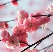Cerezo Japones (prunus Serrulata) 10 Semillas