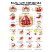 Gráfico De La Musculatura Del Suelo Pélvico Laminado Anatomí