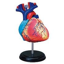 Tedco Anatomía Humana - La Anatomía Del Corazón Modelo