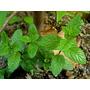 1/2 Kilo De Menta Verde Piperita Deshidratada Planta Seca