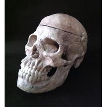 Cráneo Humano : Modelo Anatómico-replica De Un Craneo Real