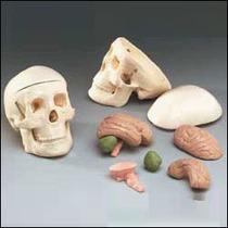 Cráneo Con Cerebro Medicina,cuerpo Humano Ddi