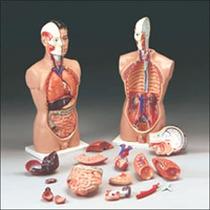 Torso Humano 34 Partes Nervios,arterias,medicina,cuerpo