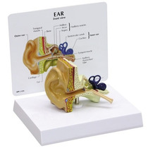 Modelo Anatómico Oido Tamaño: 4 X 2-1 / 2 X 3 .
