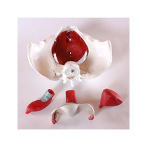 Anatómico Médico Femenino Modelo Pelvis Con Órganos Desmonta