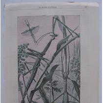 Donceles Litografia Insecto Gigante De La Nueva Guinea.