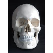 Cráneo Humano Modelo Anatómico 3 Partes Numeradas Con Sutura