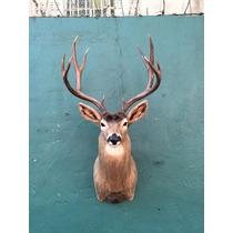 Animales Disecados 100% Artificiales Venado Bura (mule Deer)