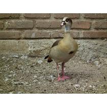 Patos Egipcios