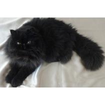Gato Persa Negro Busca Novia (gatitos Disponibles)