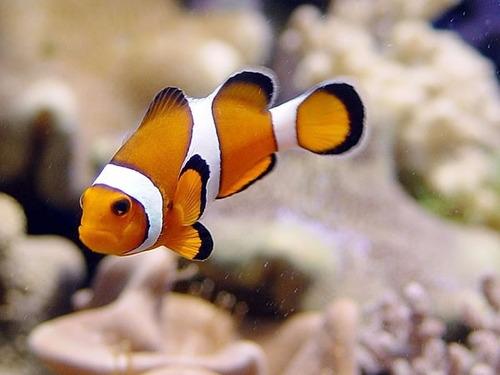 Hermosos peces marinos de criadero en mercadolibre for Peces para criadero