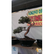 Bonsai Junipero Informal