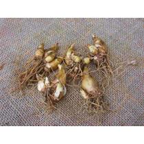 Bulbos De Nardo(polianthes Tuberosa)