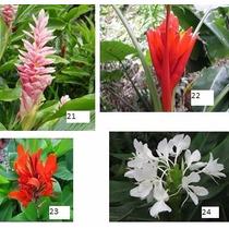 Rizomas De Heliconias De Plantas Exóticas Y Raras