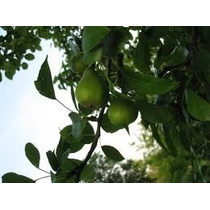 1 Arbol De Pera De Anjou - Frutales Importados Raros