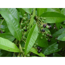 Arbol De Pimienta Dioica, (gorda, Jamaica, Guayabita)