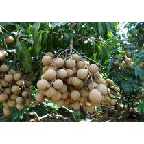 Arbolito De Longan Dimocarpus Longan