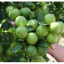Planta De Limón Persa