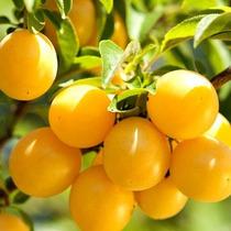 Arbolitos Ciruela Gold Prunus Domestica Var. Golden Japan