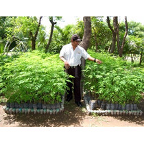 3 Plantas 30 Cm C/u Moringa De Cultivo Organico $ 200.00