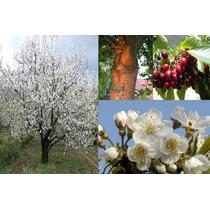 Arbolitos Cerezo Cherry Pastelero