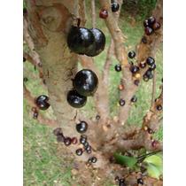 Arbolitos De Guapurú O Jaboticabo Myrciaria Cauliflora