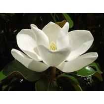 Arbolito De Magnolia Grandiflora L.