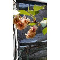 Arbol De Cerezos Sakura Flor Doble
