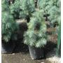 Pino Azul Pinus Maximartinezii Para Crecimiento O Bonsai.