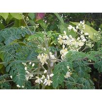 5 Plantitas De Moringa Cultivo Organico Garantia