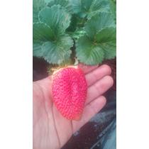 50 Plantas De Fresa ,fertilizante Y Enraizador Envío Gratis