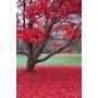 1 Arbol De Maple Japones Acer Palmatum Planta Exotica