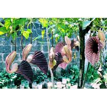 Enredadera Flor De Pato Aristolochia Grandiflora
