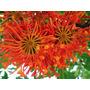 Arbol De Ruedas De Fuego -stenocarpus- Muy Raros